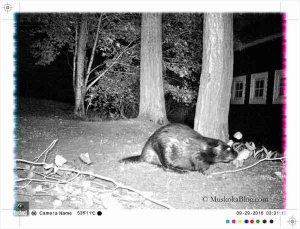 beaver1_600