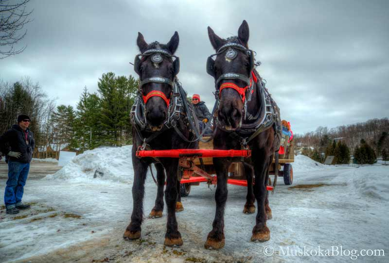 Percheron Horses in Muskoka