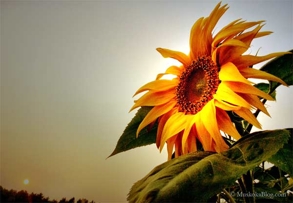 Sunflower_600
