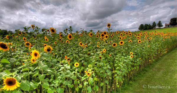 Sunflowers_600