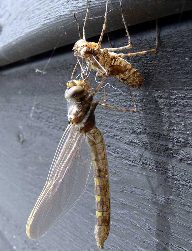 Muskoka Dragon Fly