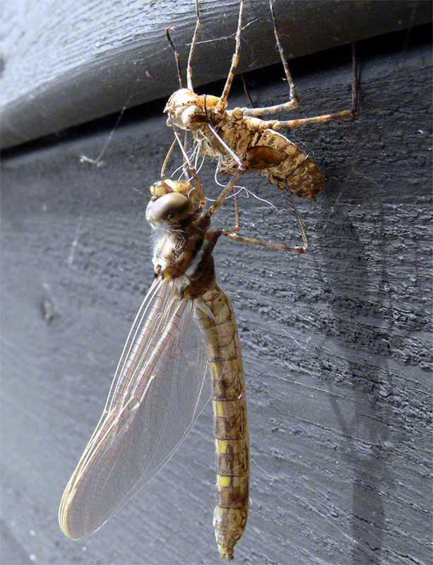 Muskoka Dragon Fly