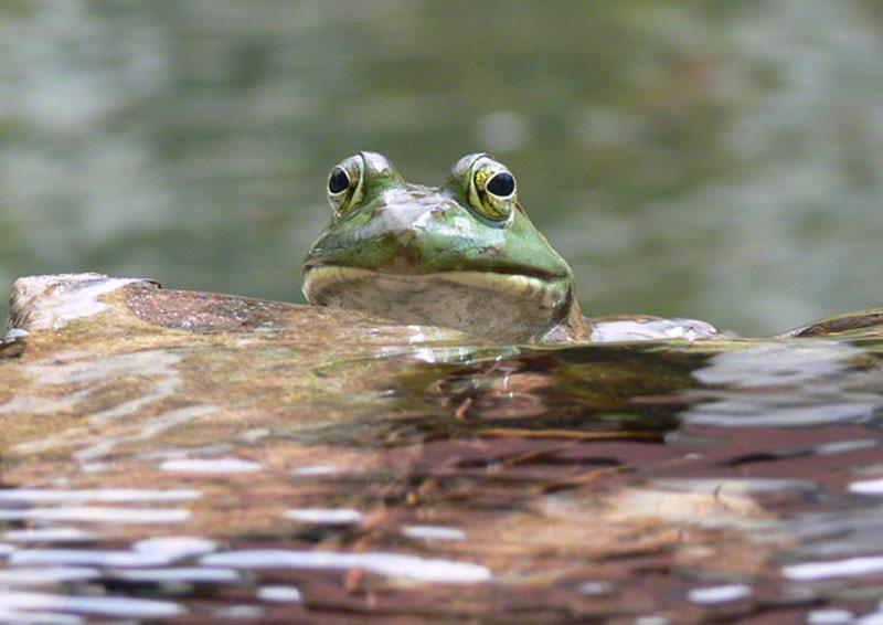 Muskoka Frog
